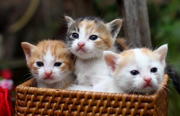 Mèo tam thể vào nhà tốt hay không