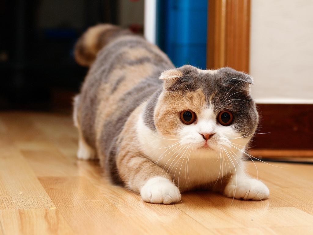 Mèo tam thể cái mang lại tài vận