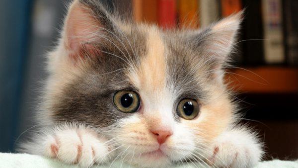 Theo phong thủy mèo tam thể mang lại may mắn