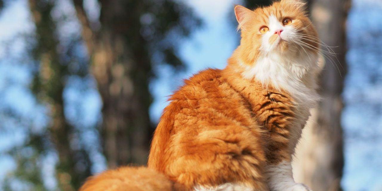 Mèo Ba tư rất gần gũi với con người