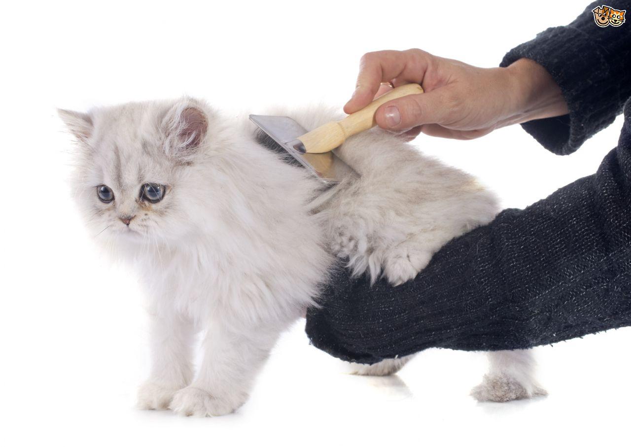 Cần chải lông thường xuyên cho mèo Ba Tư mặt tịt