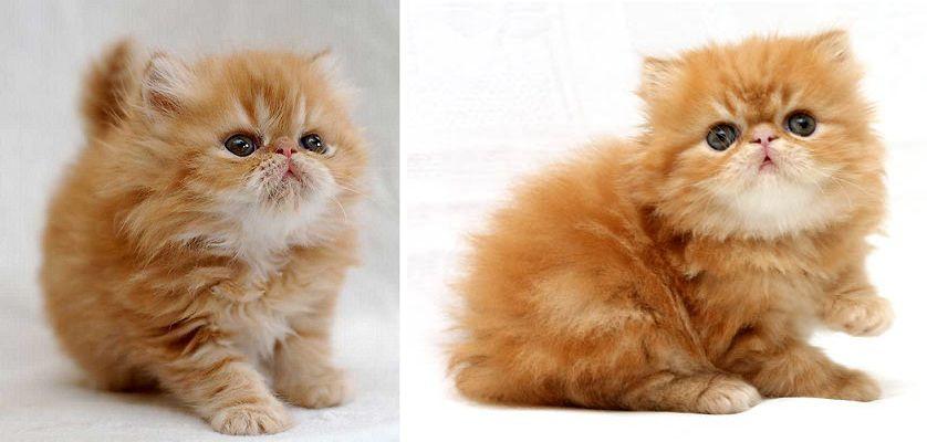 Nguồn gốc của những chú mèo Ba Tư đang được ưa chuộng hiện nay