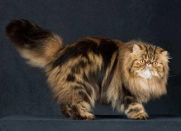 Làm sao để chăm sóc thật tốt cho những bé mèo Ba Tư?