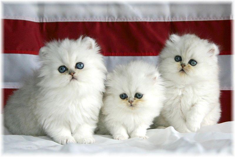 Giống mèo Ba Tư mặt tịt lông ngắn khá được ưa chuộng