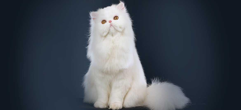 Chú mèo Ba Tư mặt tịt mang phong thái quý tộc chẳng giống ai
