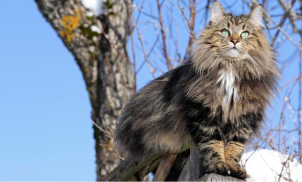 mèo tam thể xinh đẹp