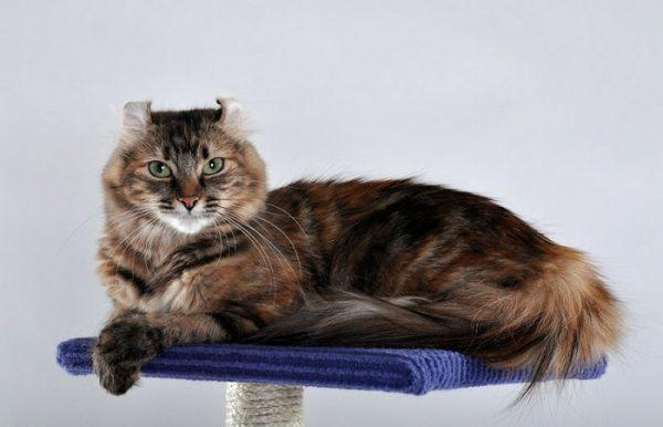 American Curl- Giống mèo của Mỹ với đôi tai đặc trưng