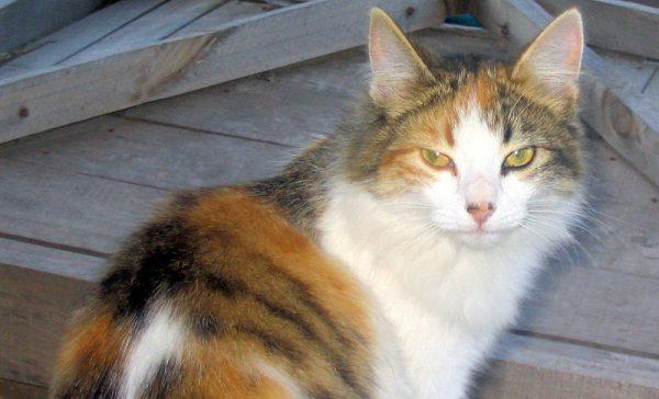 mèo tam thể đẹp