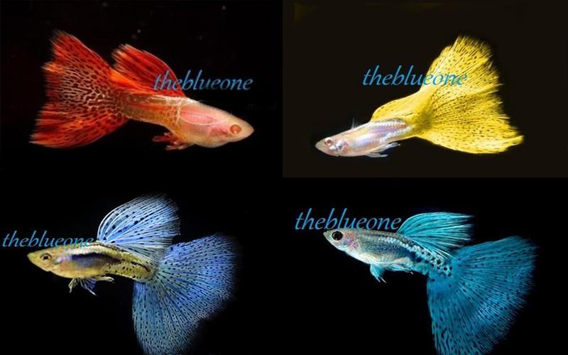 Cá bảy màu Grass