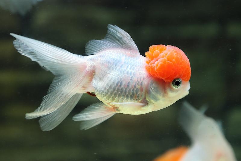 Cá ba đuôi nuôi lâu sẽ mọc u trên đầu