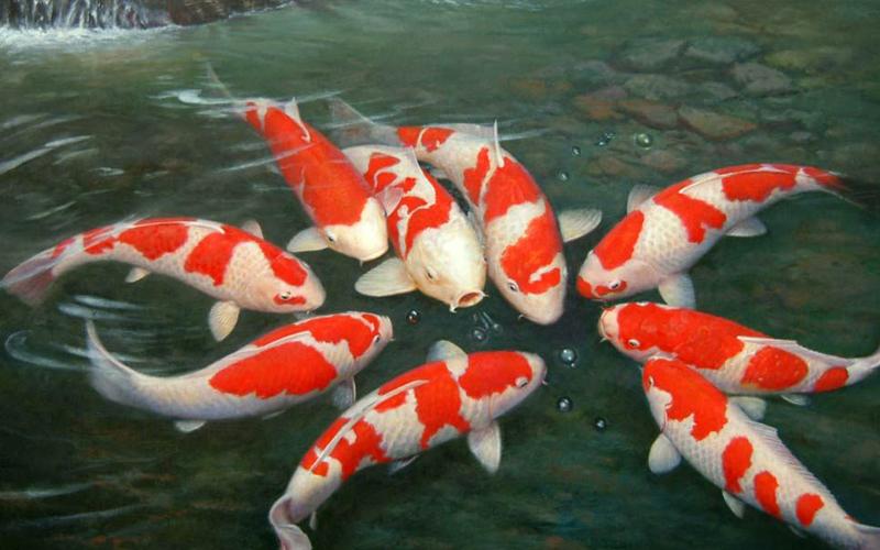 Cá Koi Kohaku rất đẹp và giá trị cao