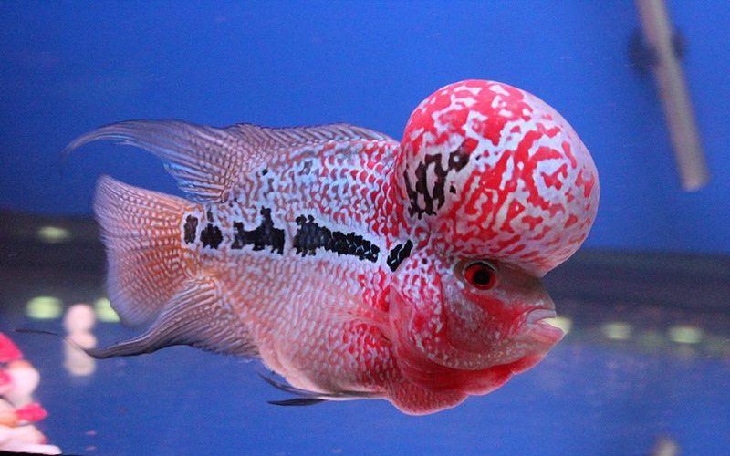 Cá la hán có gù trên đầu