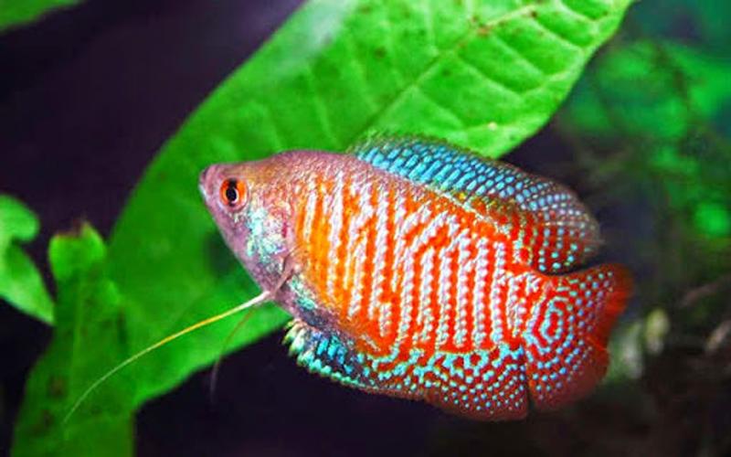 sặc gấm là loài cá dễ nuôi và thân thiện với nhiều giống cá cảnh khác
