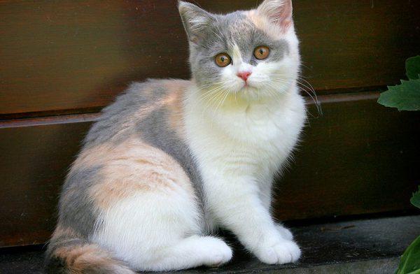 Giống mèo tam thể lông ngắn nước Anh