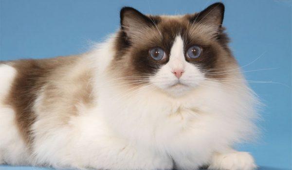 mèo ragdoll việt nam
