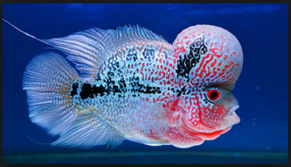 Cá La Hán - Các loại cá cảnh nước ngọt lớn