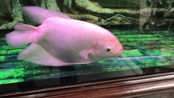 Các loại cá cảnh nước ngọt lớn - Cá Tài Phát