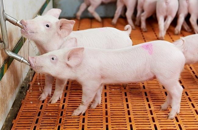 Ngành chăn nuôi lợn ở Việt Nam phải đối mặt với nhiều khó khăn, thách thức
