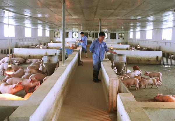 Chăn nuôi lợn đóng vai trò quan trọng trong nền kinh tế Việt Nam