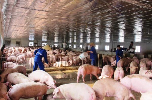 Ngành chăn nuôi lợn ở Việt Nam đang phát triển như thế nào?