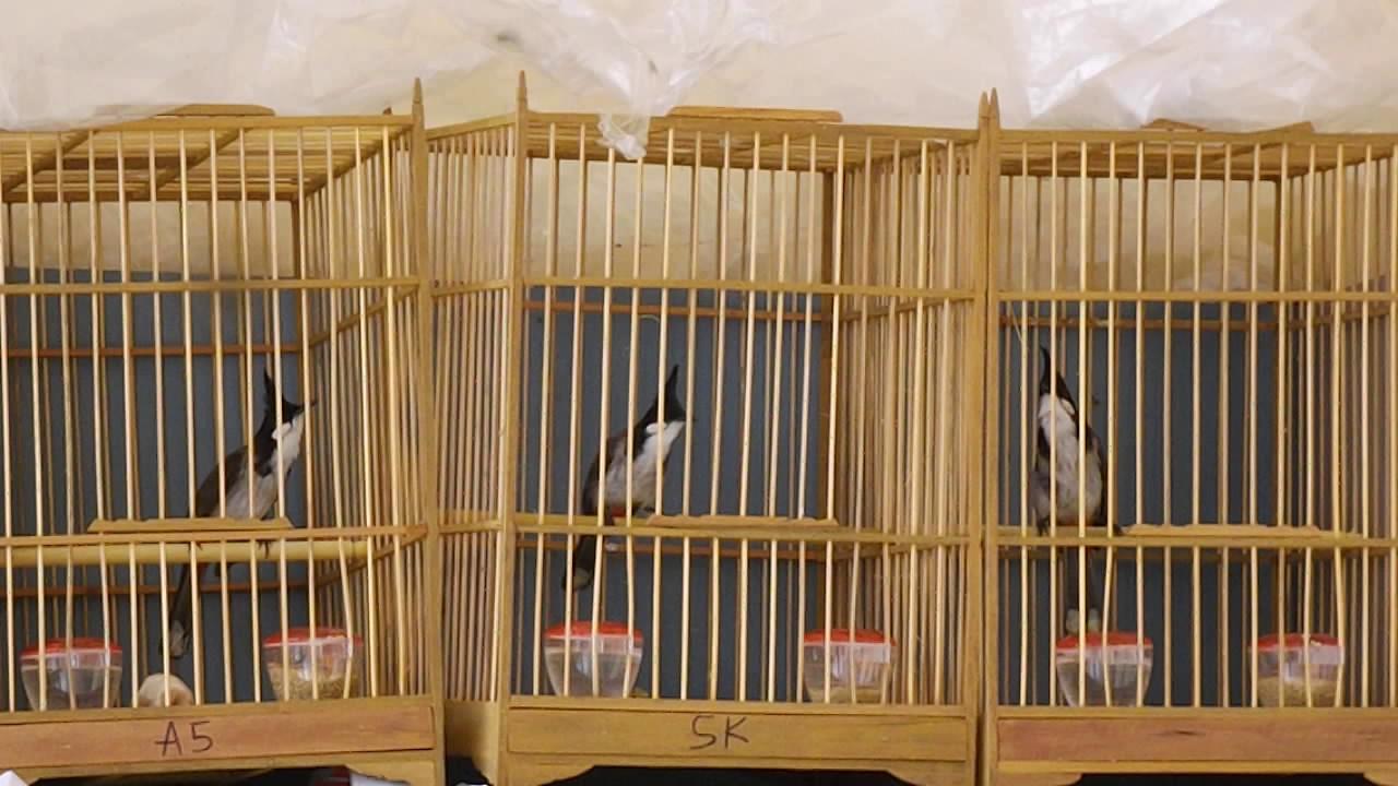 Có thể nuôi chào mào bổi trong lồng ép giúp chim nhanh dạn