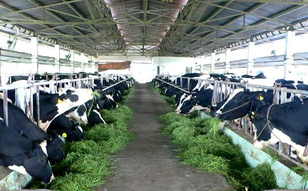 Nhiều trang trại bò sữa đang được các công ty về sữa xây dựng