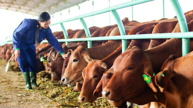 Ngành chăn nuôi bò ở Việt Nam đang được đầu tư phát triển mạnh mẽ