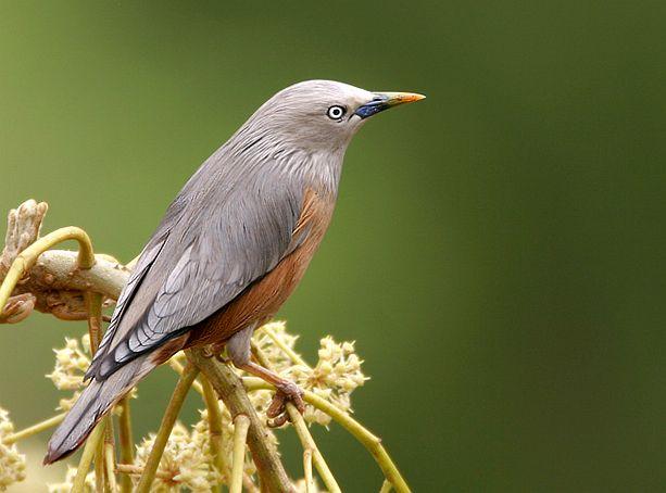 Đặc điểm của chim sáo là gì