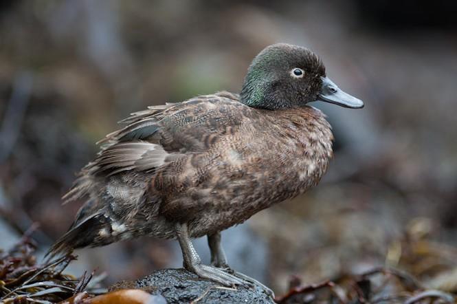 Vịt trời Campbell là loài chim không biết bay