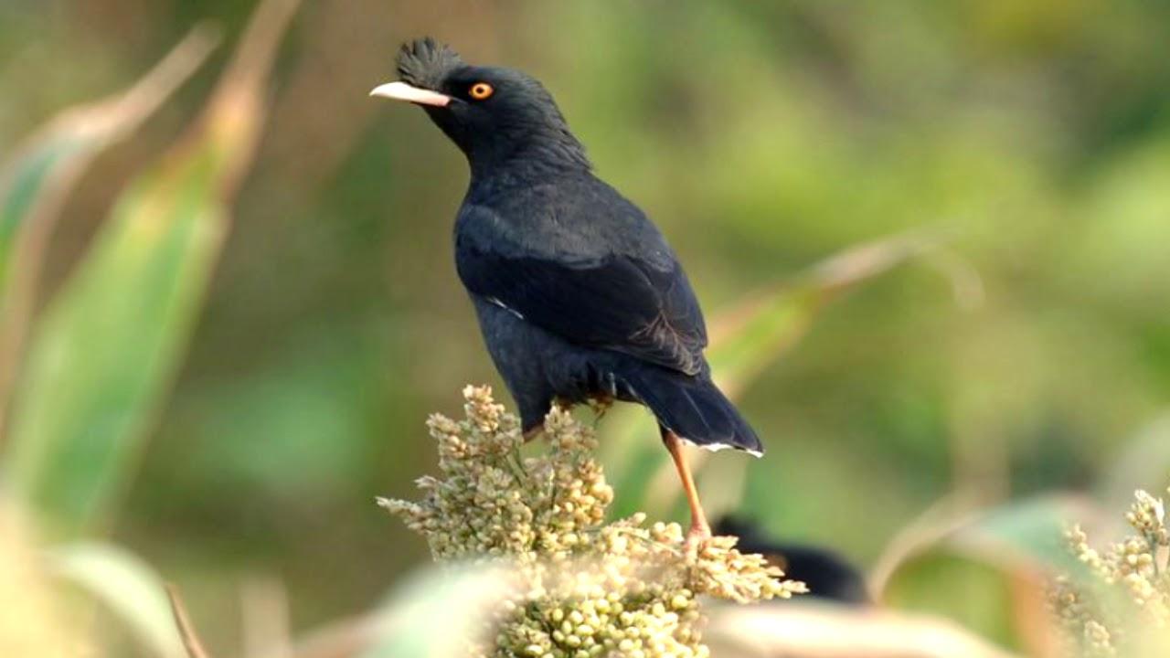các loại chim sáo biết nói