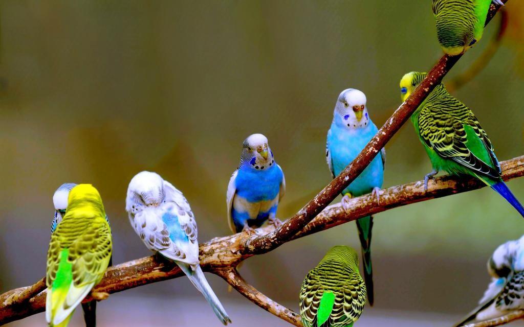 Chim Yến Phụng là một trong các loài chim quý hiếm của Việt Nam