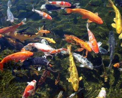 các loại cá cảnh đẹp nhất thế giới