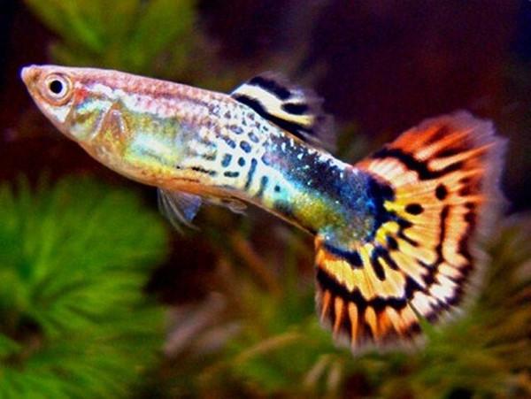 cách nuôi cá bảy màu không chết