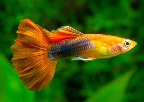 cách nuôi cá 7 màu đẻ nhiều