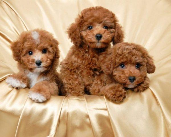kinh nghiệm nuôi chó Poodle
