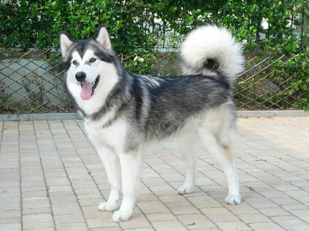 Chó Alaska ăn gì