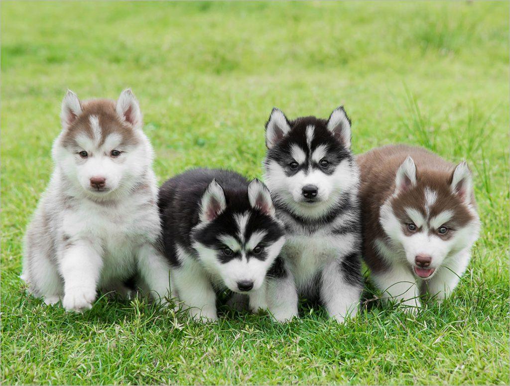 cách nuôi chó Husky
