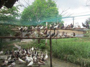 làm chuồng chim bồ câu