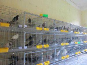 Cách nuôi chim bồ câu hiệu quả