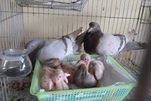Thức ăn của chim bồ câu