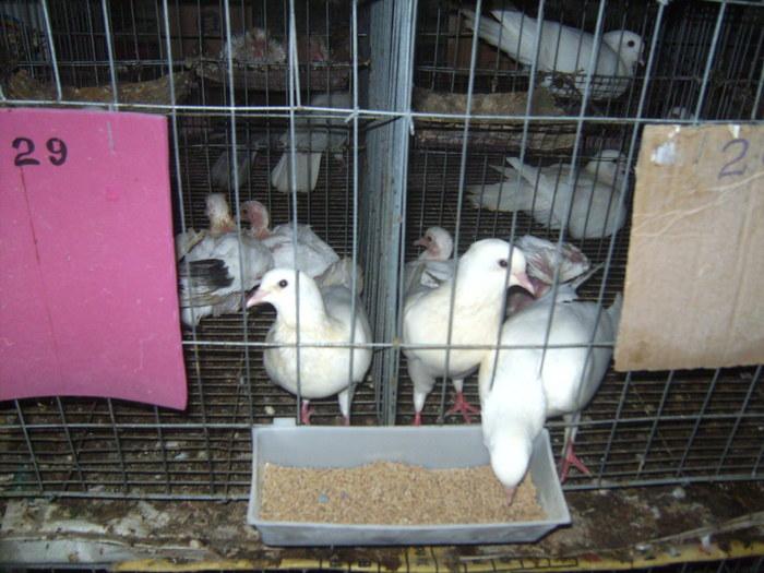 thức ăn cho chim bồ câu